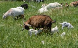 Mother goat with baby kids in grass stock images