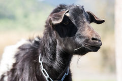 Mother goat on a farm Royalty Free Stock Image
