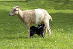 Mother goat feeding baby goats with milk. On grass Royalty Free Stock Photo