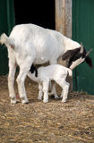 Mother goat feeding new baby Stock Photo