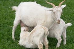 Mother Goat Feeding Twin Kids Royalty Free Stock Photography