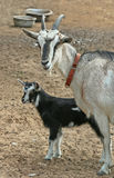 Mother goat and her kid, Farm animals, shooting outdoors. Royalty Free Stock Photos
