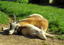 Mother goat and her kid on the field Stock Photos