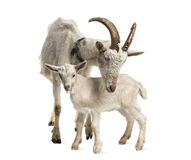 Mother goat and her kid (8 weeks old). Isolated on white Royalty Free Stock Image