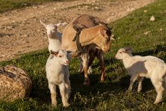 Mother goat and her kids Royalty Free Stock Images