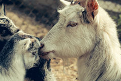 Mother goat and kids Stock Photo
