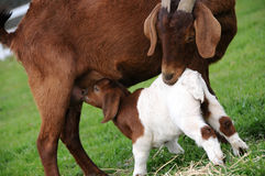 Mother Goat Nursing. Portrait of Mother Goat Nursing in a Pasture 2 Stock Photography