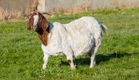 Mother Goat To Be Royalty Free Stock Photography