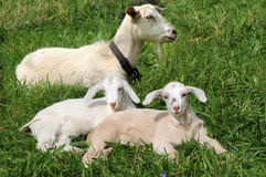 Goats. Mother goat with two little baby goats royalty free stock photos