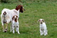 Free Mother Goat With Two Baby Goats In A Meadow Stock Image - 174287541