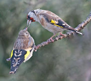 Mother Goldfinch feeding her youg sibling Royalty Free Stock Images