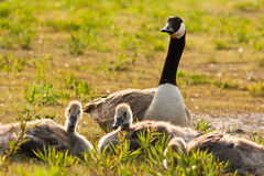 Mother goose Royalty Free Stock Photo