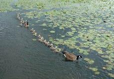 Mother Goose, Burnaby Lake, BC Canada Stock Photos