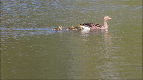Mother goose with babies. stock video footage