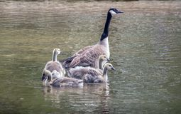 Mother goose and babiy gossings. A mother goose guards her young offspring as they swim in a beautiful lake stock photo