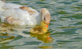Mother goose and baby goose Stock Photo