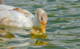 Mother goose and baby goose Royalty Free Stock Photo