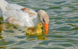 Mother goose and baby goose Royalty Free Stock Image