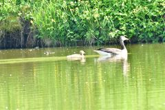 Mother goose with baby gosling swimming on the lake. Green stock photos