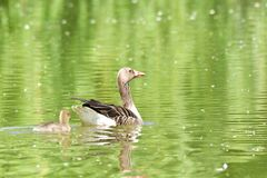 Mother goose with baby gosling swimming on the lake. Green royalty free stock image
