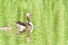 Mother goose with baby gosling swimming on the lake. Green stock image