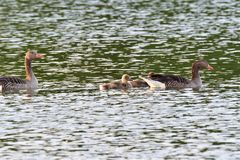 Mother goose with baby gosling swimming on the lake. Green stock images