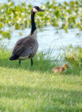 Mother goose and baby Royalty Free Stock Photo
