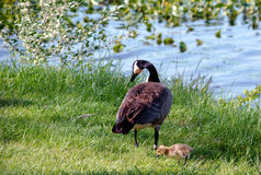 Mother goose and chick. A mother goose stays close to her new baby chick, as they search for food on the shore of this michigan pond royalty free stock images