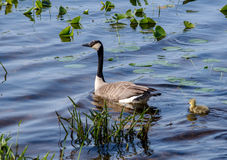 Mother goose and chick swimming. A mother goose stays close to her new baby chick, as they swim in the warm water of this small michigan pond stock photography