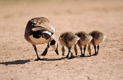 Mother goose. A family of Canadian geese walking through a wildlife refuge in Arizona Royalty Free Stock Photography
