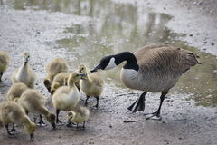 Mother goose. Stock Images
