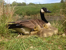 Mother goose with gosling chicks. Female Canada Goose sitting on the bank of a pond with her two young goslings.  Taken on a sunny day in their natural Stock Photography