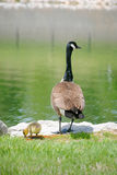 Mother Goose and Gosling. Mother goose and her little gosling on waterfront royalty free stock photo