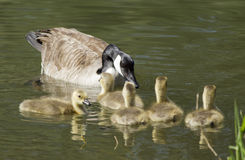 Mother goose and goslings. Stock Photos