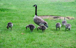 A Mother goose and goslings. A mother goose stands proudly watching her babies as they hunt for food stock images