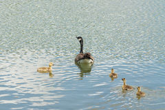 Mother Goose and Goslings. Swimming mother Canada goose swimming with four goslings stock image