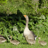 Mother Goose Guarding Her Goslings. Greylag Goose watching over her babies Royalty Free Stock Photo