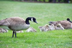 Mother goose and her babies. A mother goose walks calmly around the other geese stock photography