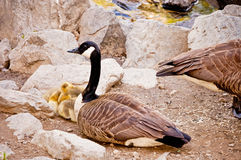 Mother Goose and her babies. A mother goose watching over her babies stock photos