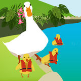 Mother Goose and her chicks in swimming class royalty free stock photo