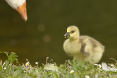 Mother goose and her duckling Stock Photography