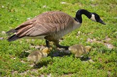 A mother goose with her two goslings. A mother goose walking on a green grass background with her two yellow little goslings stock image