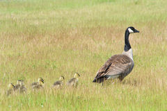 Mother goose leading goslings through grassy field Stock Photo