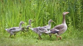 Mother goose leading goslings in the wild Royalty Free Stock Photo