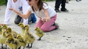 Mother goose like to have safer distance for her goslings. Kids do not understand. And parents can not give them proper advise. Bu stock video footage