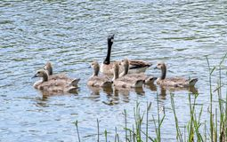 Mother goose and security patrol. A mother goose looks after her large flock of babies as they swim on a beautiful clear lake royalty free stock photos