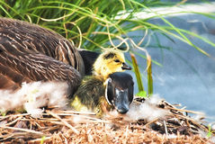 Mother Goose with Newborn Gosling. Digitally hand painted photograph of Mother goose with her newly hatched newborn gosling snuggling on her neck. This is the stock image