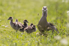 Mother goose protecting her chicks. On a meadow with flowers stock photography