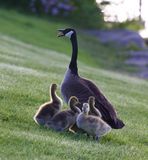 Mother-goose protects her children from the dog. Mother-goose protects her children chicks from the dog Royalty Free Stock Photos