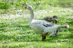 Mother goose stands security Royalty Free Stock Photography